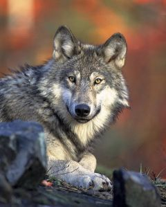 480px-Canis_lupus_laying