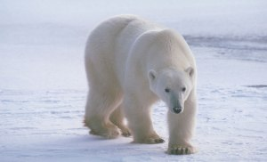 polarbearonicehnt4evrblog112113