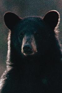 blackbearcrosshairs