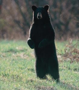 blackbearstandingfirstforhunters012014