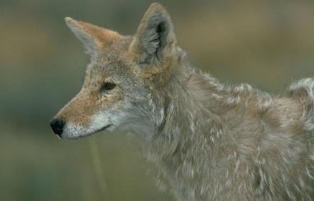 coyotefirsstforhunters012014