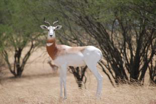SCI Provides Winning Arguments Against Constitutional Challenge to Three Antelope Rule