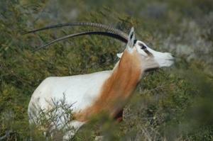 scimitarhornedoryx2firstforhunters012114