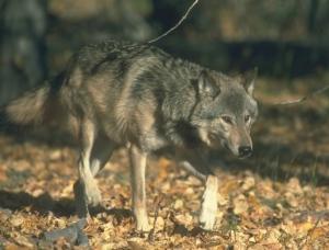 wolfinwoodsfirstforhunters012914