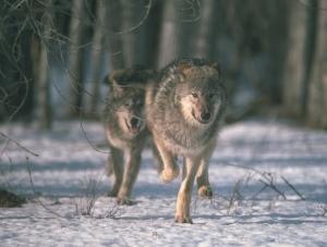 wolvesfirstforhunters012014