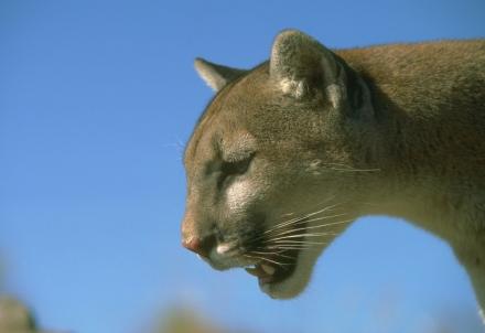 cougarfirstforhunters022814