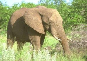 elephant021314