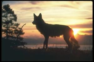 wolfsunsethuntforever012214