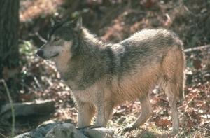 _wolfcloseupfirstforhunters031914