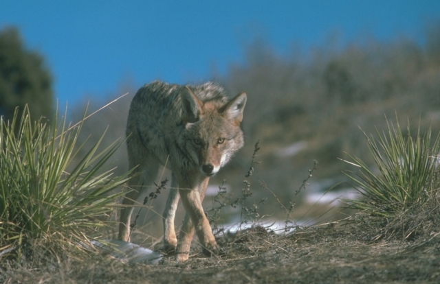 coyoteprowlingfirstforhunters041714