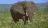 Elephant1firstforhunters040714