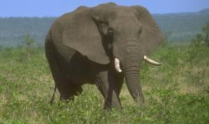Elephant1firstforhunters040714