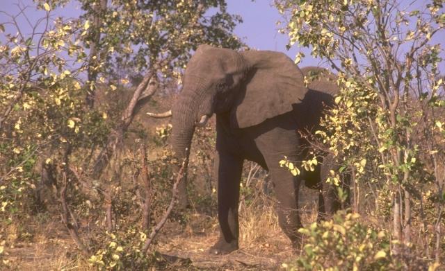 USFWS elephant import ban