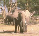 elephantherdfirstforhunters042914