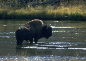 bisoninstreamfirstforwildlife052114
