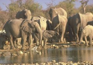 elephantsatwaterfirstforhunters052114