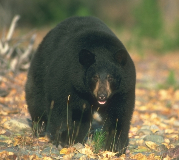 Maine Bear Hunting Under Attack!