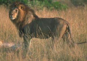 lionstanding
