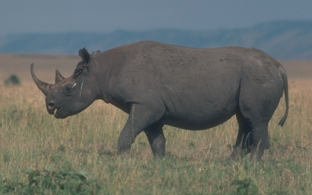 blackrhino1