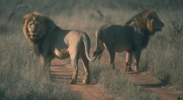 lionsonroadblog