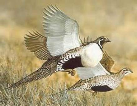 sage-grouse-flying