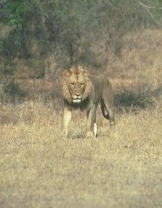 Male-lion-head-on