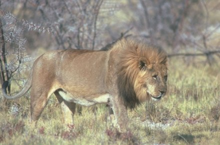 older-male-lion